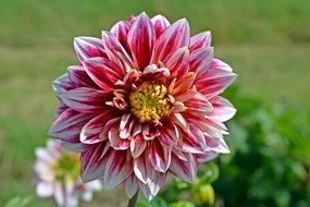 pink-white dahlia in the garden on a sunny day