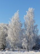 birch trees with hoarfrost on branches in winter