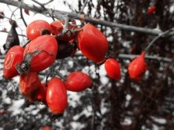 red rosehip berries on a background of a winter landscape