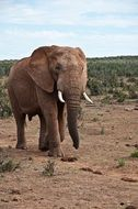 elephant in natural environment of africa