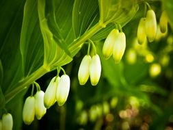 white lilies of the valley with green leaves