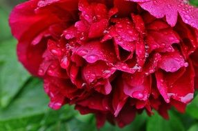 red peony in raindrops close up
