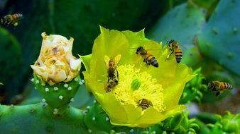 bees on a yellow cactus flower