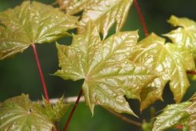 new Green maple Leaves