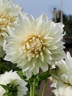 white dahlia flower blossoms