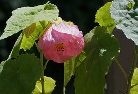 flowering maple plant