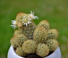 flowering cactus in a flower pot