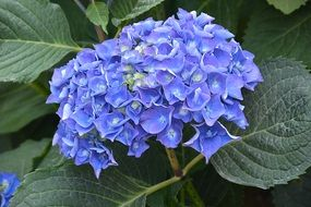 spherical blue inflorescence of hydrangea close-up
