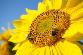 bee sitting on a yellow sunflower