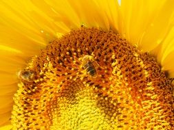 hardworking bees on the sunflower