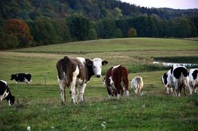 spotted cows in a meadow in masuria