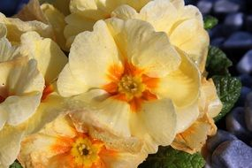 pale yellow primroses close-up