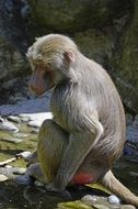 baboon sitting on a stone