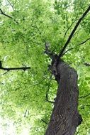 bottom view of a tree with large green crowns