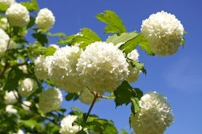 ornamental plant with snow-white spherical inflorescences