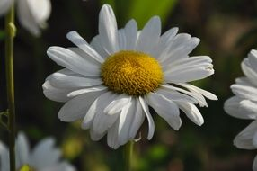 white daisy in the meadow