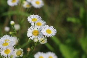 wild daisies with pointed petals close-up