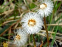 three dandelions with fluffy seeds