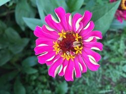 Colorful Zinnia Flowers
