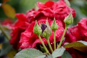 red roses with buds in drops of water close-up