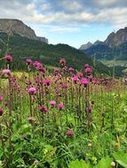 purple thistle bloom at the foot of the mountains