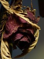 red Dried Rose close up