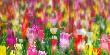 colorful meadow of colorful tulips close-up