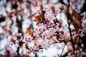 Macro Photo of Cherry Blossoms on a tree
