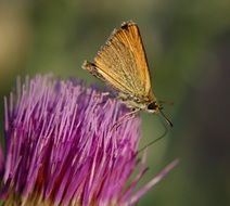 yellow butterfly on a purple thistle