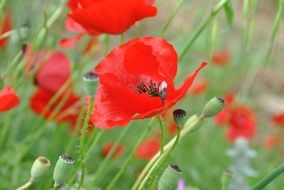 bright red poppies on a summer field