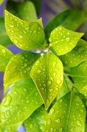 bright green foliage of lemon in drops of water close-up