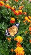 colorful butterfly on orange flowers nature
