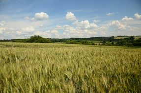 Wheat field crops