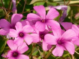 Beautiful oxalis flowers blossom