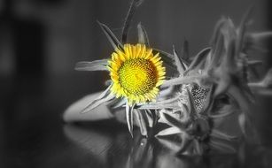 small yellow sunflower on the black and white background