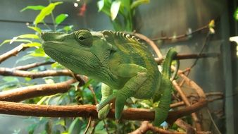 Green Chameleon on branch in Zoo