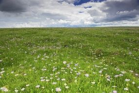 white wild flowers in a meadow under a cloudy sky