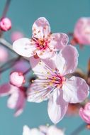 pink cherry blossoms in macro