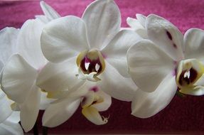white orchids on pink fabric close-up
