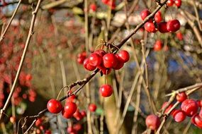 red berries on a bush in sunny autumn