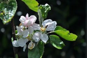 apple flowers on a branch with green leaves