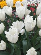 Picture of the colorful Tulips