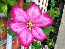 pink clematis on a flowerbed in the garden