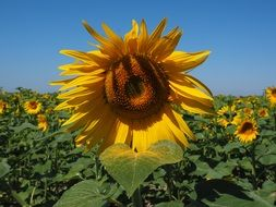 cultivated sunflowers