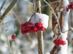 red berries under snow close-up