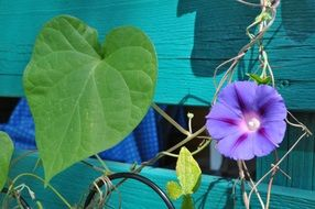 purple climber flower on a blue fence