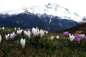 multi-colored crocuses in the mountains