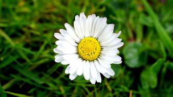 white Daisy on green grass, top view