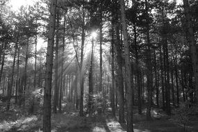 sunbeams between trees in a forest in black and white image