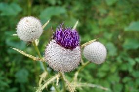Colorful prickly thistle flowers